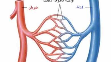 أنواع الأوعية الدموية واتجاه حركة الدم فيها: شريان ينقل الأكسجين والغذاء من القلب إلى الجسم، وريد يحمل الفضلات من الجسم نحو الرئتين والقلب