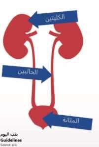 المثانة هي مخزن المياه التى تنتجها فلاتر الكليتين