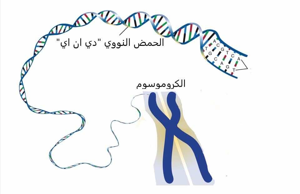 يتكون الحمض النووي دي ان اي من سلسلتين تكونان الأكواد الجينية وتلتف إحداهما حول الأخرى، لتكونا 23 زوج من الكروموسومات الذين يمثلوم الشريط الوراثي للشخص