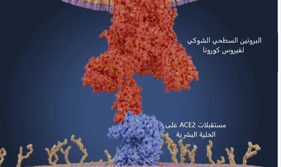 يتحد البروتين السطحي الشوكي لفيروس كورونا مع مستقبلات خاصة موجودة على سطح الخلية البشرية يرمز لها ب ACE2 ويمكن هذا الاتحاد الفيروس من الدخول إلى الخلية وبداية التكاثر والعدوى