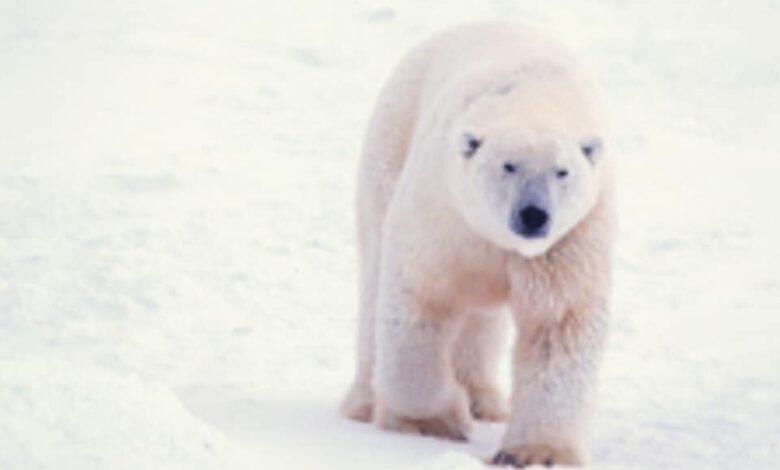 بنك المعرفة (13) | لا تستطيع أن تبعد فكرة ما عن تفكيرك؟ ذلك بسبب نظرية الدب الأبيض