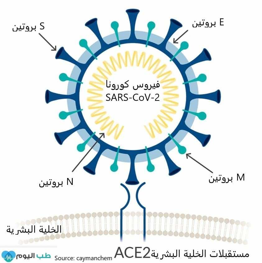 بروتينات فيروس كورونا