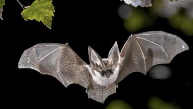 الخفاش بريء و منشأ فيروس كورونا كان مختلفا - بحسب اعتقاد المدير السابق ل CDC الأمريكية