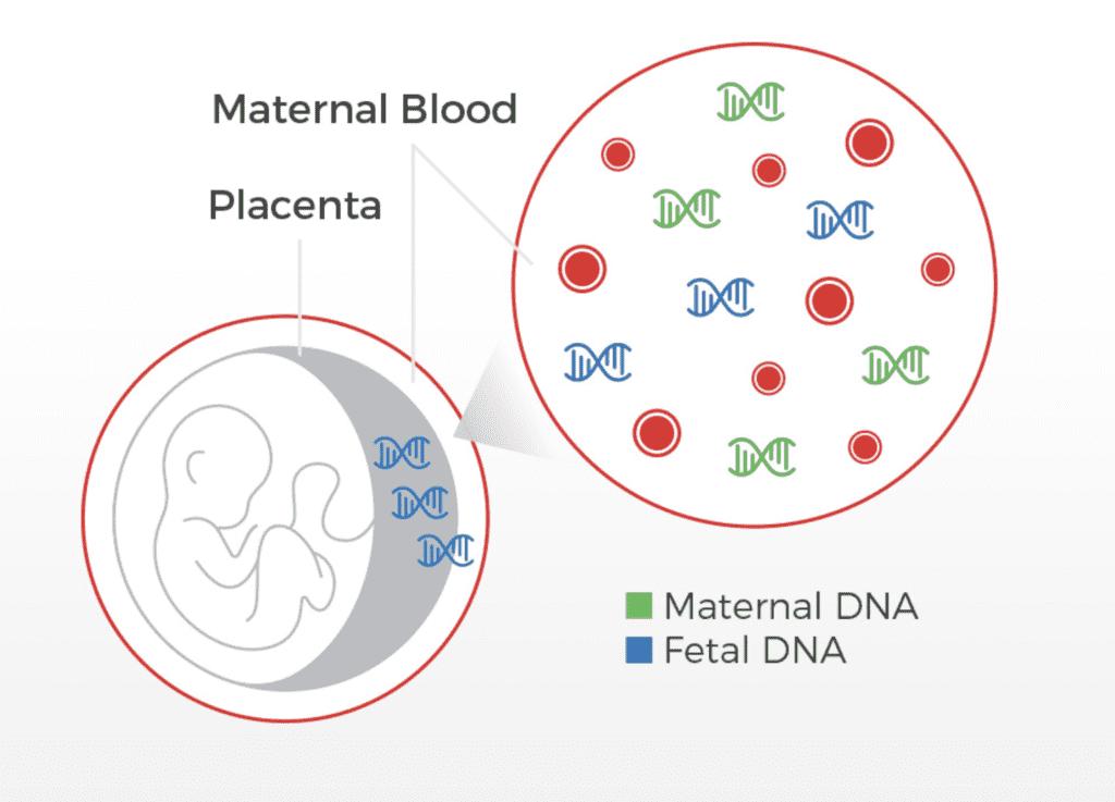 """تحليل دي ان اي """"تحليل النسب dna"""" من عينة الدم أثناء الحمل٬ يهدف الاختبار إلى العثور على قطع من """"حمض دي ان اي الحر من الجنين"""" fetal cell free DNA (cfDNA) fhg باللون الأزرق الذي يعبر المشيمة ويصل بدم الأم فيختلط بحمض دي ان اي الخاص بالأم ( باللون الأخضر)"""