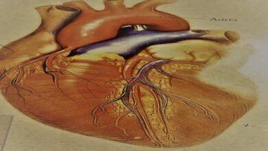 الخلايا الجذعية تنجح في تكوين قلب صغير ينبض في أطباق المعمل - القلب - دراسة