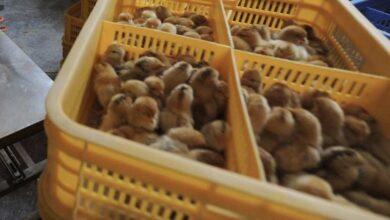 الصين تسجل أول حالة من العدوى البشرية من انفلونزا الطيور H10N3 ٬ فما هي درجة خطورتها؟