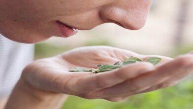 اعراض كورونا يوم بيوم | الخبراء يوصون ب تدريبات الشم في حالة استمرار فقدان حاسة الشم بعد التعافي؟