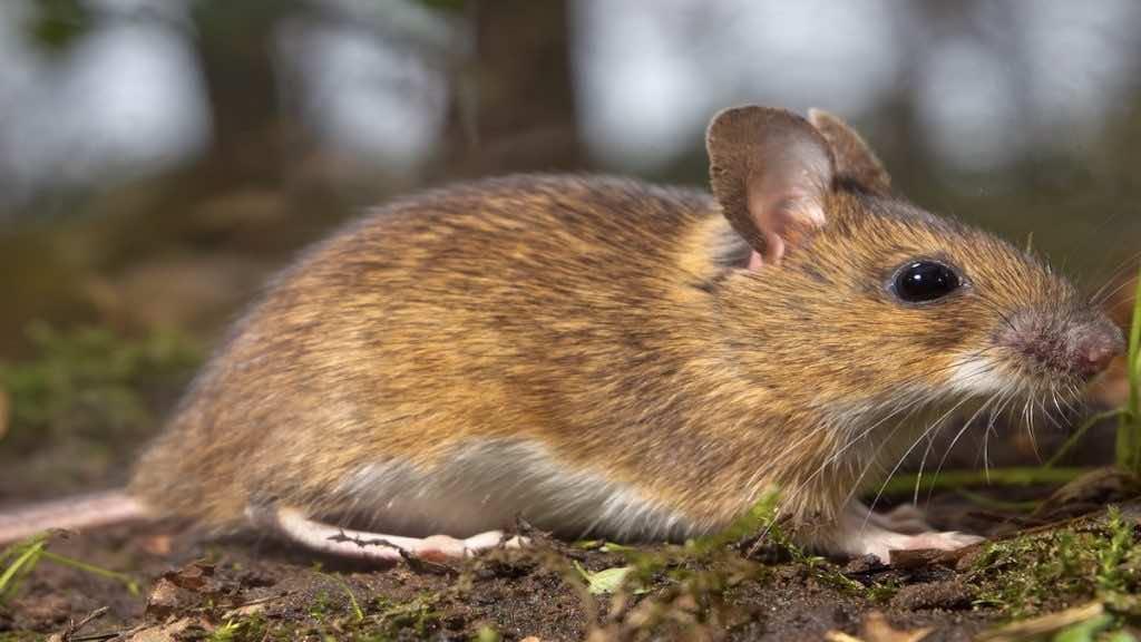 بحسب المركز الأمريكي CDC فإن الفأر وغيره من الثدييات الصغيرة من الحيوانات التي لا تشكل خطورة واضحة من حيث نقل داء الكلب