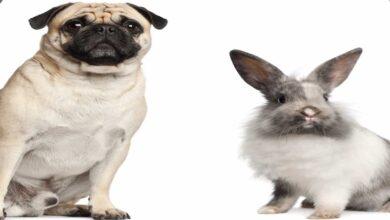 مع عضة الارنب أو عضة الفأر هل يلزم التطعيم ضد داء الكلب (السعار)؟
