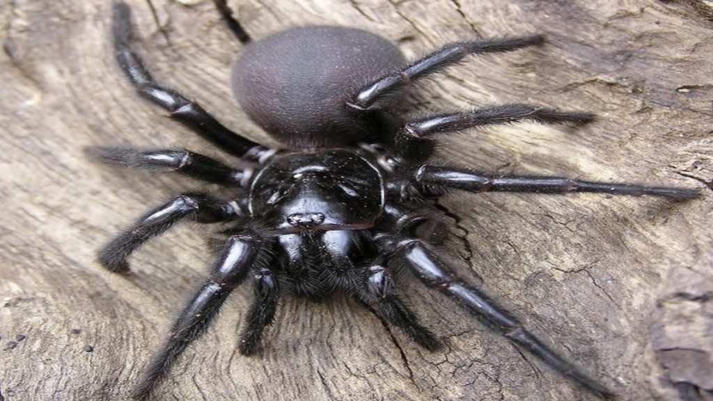 العنكبوت القمعي القاتل