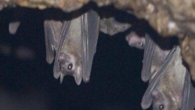 فيروس ماربورغ انتقل للبشر من خفاش الكهوف