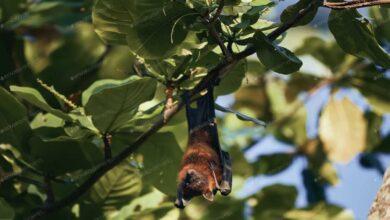 بعد قتله لطفل في الهند، ما خطورة تحول فيروس نيباه إلى وباء - في الصورة حيوان خفاش الفاكهة الذي يحمل فيروس نيباه